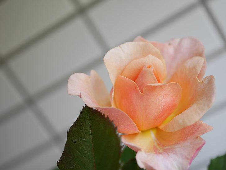 ピエールエルメ(Pierre Herme)の花が咲いた。半ツルバラ。2021年-014.jpg