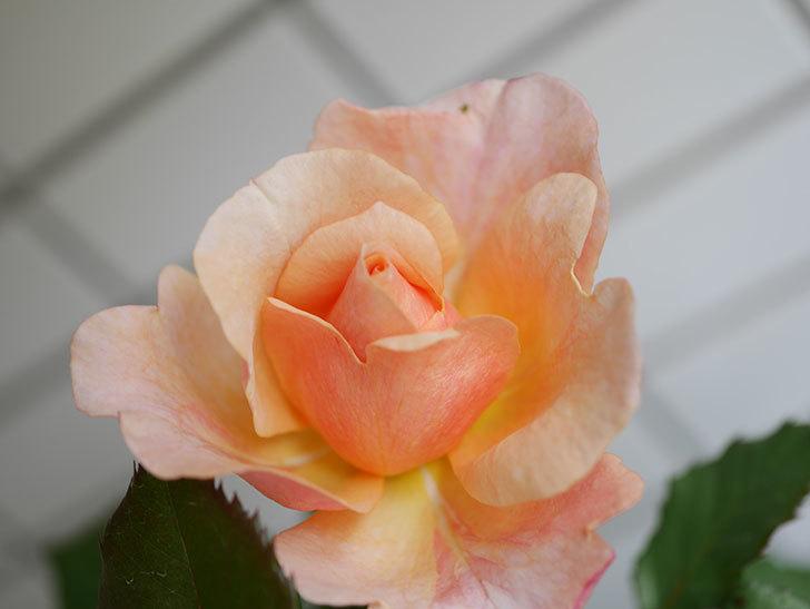 ピエールエルメ(Pierre Herme)の花が咲いた。半ツルバラ。2021年-015.jpg