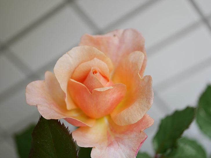 ピエールエルメ(Pierre Herme)の花が咲いた。半ツルバラ。2021年-016.jpg