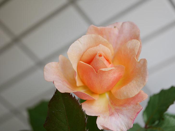 ピエールエルメ(Pierre Herme)の花が咲いた。半ツルバラ。2021年-017.jpg