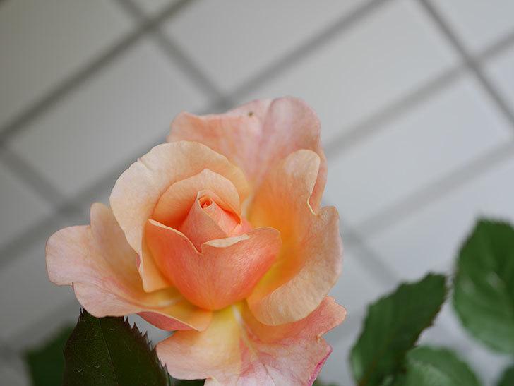 ピエールエルメ(Pierre Herme)の花が咲いた。半ツルバラ。2021年-018.jpg
