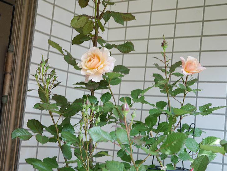 ピエールエルメ(Pierre Herme)の花が咲いた。半ツルバラ。2021年-019.jpg