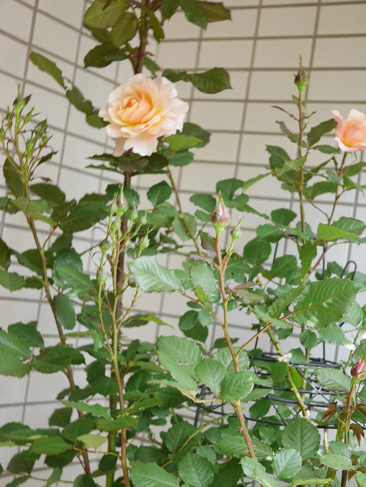 ピエールエルメ(Pierre Herme)の花が咲いた。半ツルバラ。2021年-020.jpg