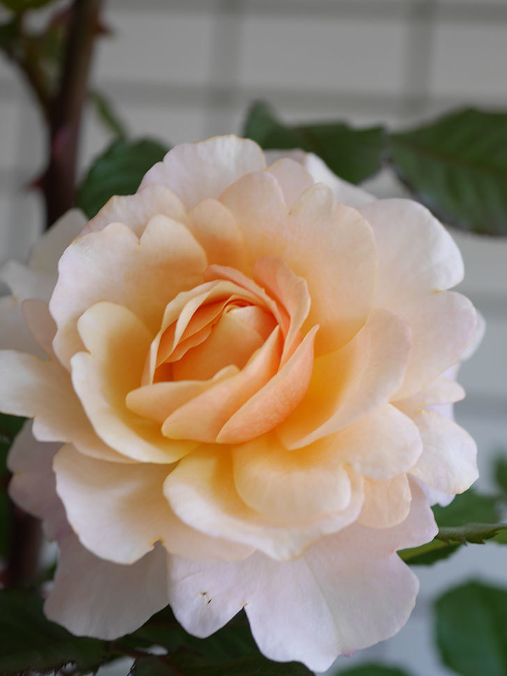 ピエールエルメ(Pierre Herme)の花が咲いた。半ツルバラ。2021年-021.jpg