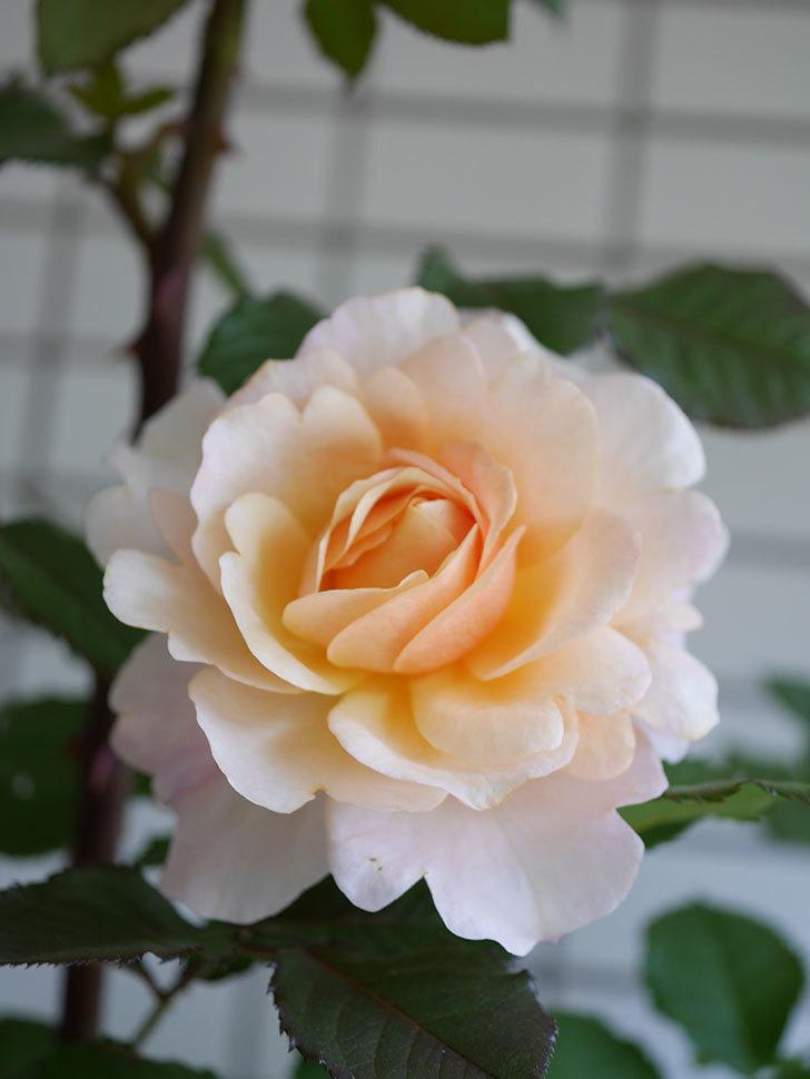 ピエールエルメ(Pierre Herme)の花が咲いた。半ツルバラ。2021年-022.jpg