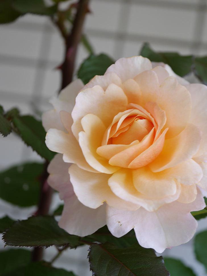 ピエールエルメ(Pierre Herme)の花が咲いた。半ツルバラ。2021年-023.jpg