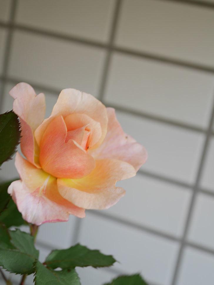 ピエールエルメ(Pierre Herme)の花が咲いた。半ツルバラ。2021年-024.jpg