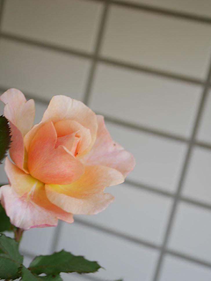 ピエールエルメ(Pierre Herme)の花が咲いた。半ツルバラ。2021年-025.jpg