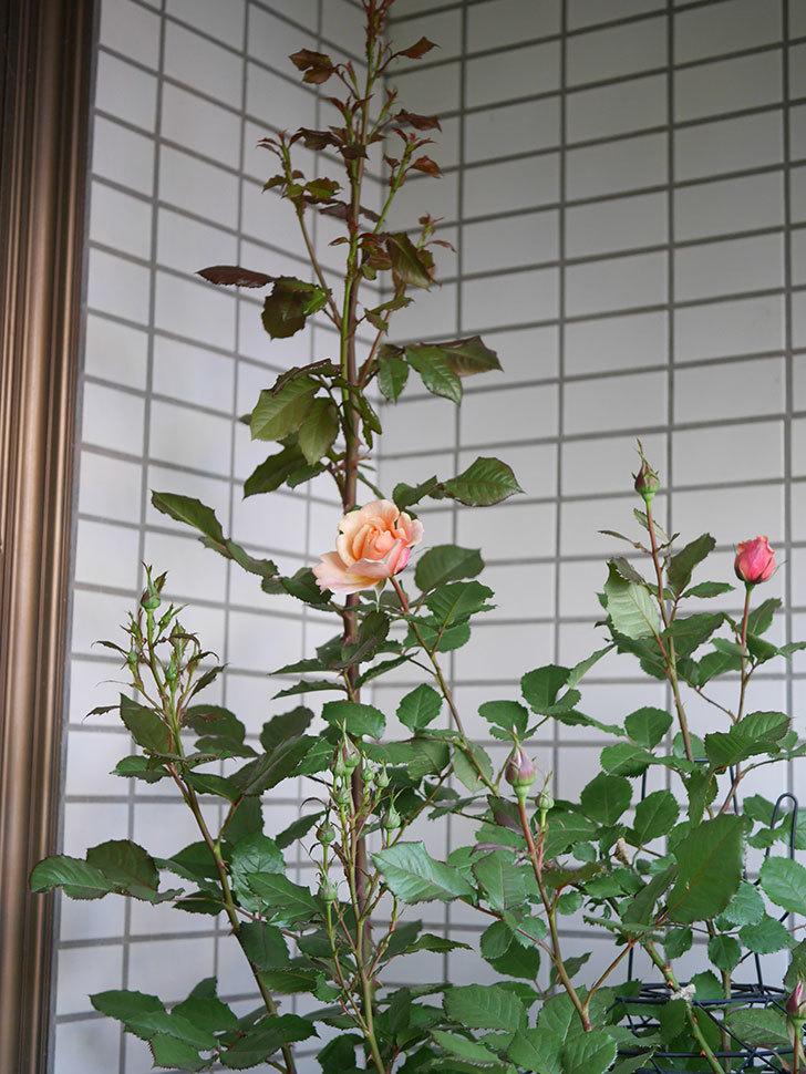 ピエールエルメ(Pierre Herme)の花が少し咲いた。半ツルバラ。2021年-001.jpg