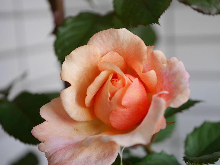 ピエールエルメ(Pierre Herme)の花が少し咲いた。半ツルバラ。2021年-002.jpg