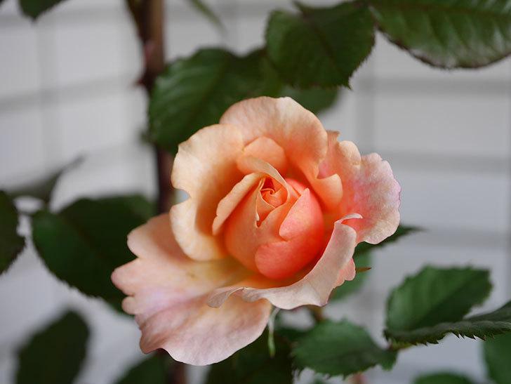 ピエールエルメ(Pierre Herme)の花が少し咲いた。半ツルバラ。2021年-003.jpg