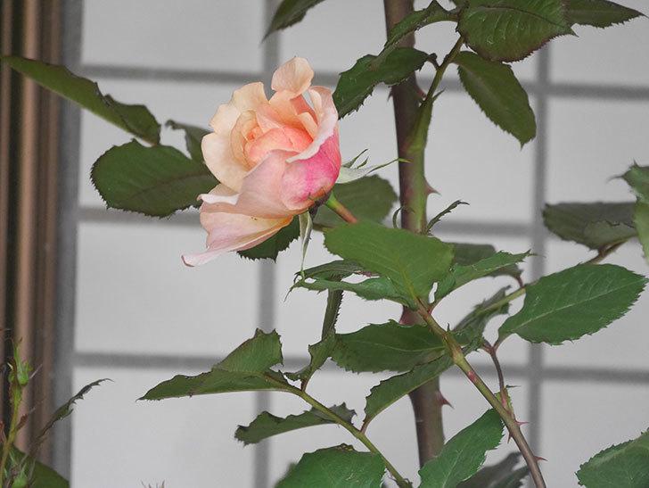 ピエールエルメ(Pierre Herme)の花が少し咲いた。半ツルバラ。2021年-006.jpg