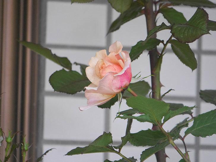 ピエールエルメ(Pierre Herme)の花が少し咲いた。半ツルバラ。2021年-007.jpg