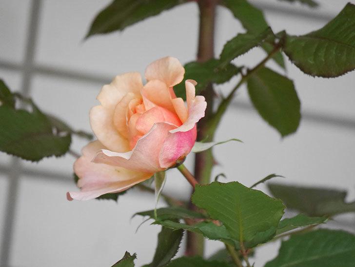 ピエールエルメ(Pierre Herme)の花が少し咲いた。半ツルバラ。2021年-009.jpg