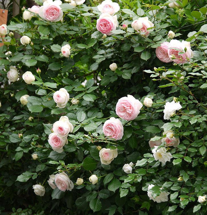 ピエール・ドゥ・ロンサール(ツルバラ)がたくさん咲いた。2017年-1.jpg