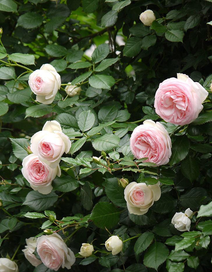 ピエール・ドゥ・ロンサール(ツルバラ)がたくさん咲いた。2017年-10.jpg