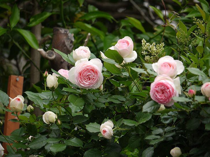 ピエール・ドゥ・ロンサール(ツルバラ)がたくさん咲いた。2017年-11.jpg