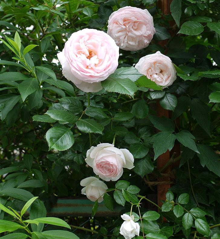 ピエール・ドゥ・ロンサール(ツルバラ)がたくさん咲いた。2017年-12.jpg