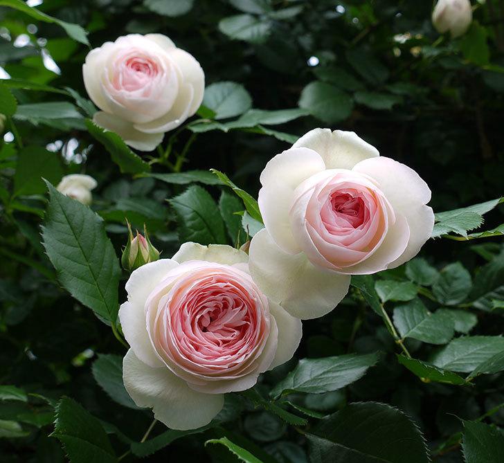 ピエール・ドゥ・ロンサール(ツルバラ)がたくさん咲いた。2017年-16.jpg