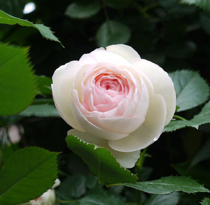 ピエール・ドゥ・ロンサール(ツルバラ)がたくさん咲いた。2017年-17.jpg
