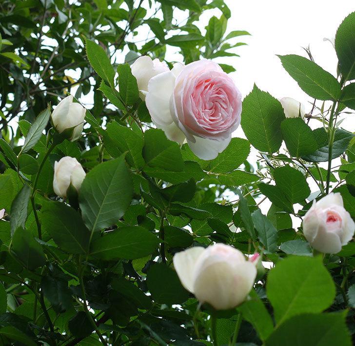 ピエール・ドゥ・ロンサール(ツルバラ)がたくさん咲いた。2017年-18.jpg