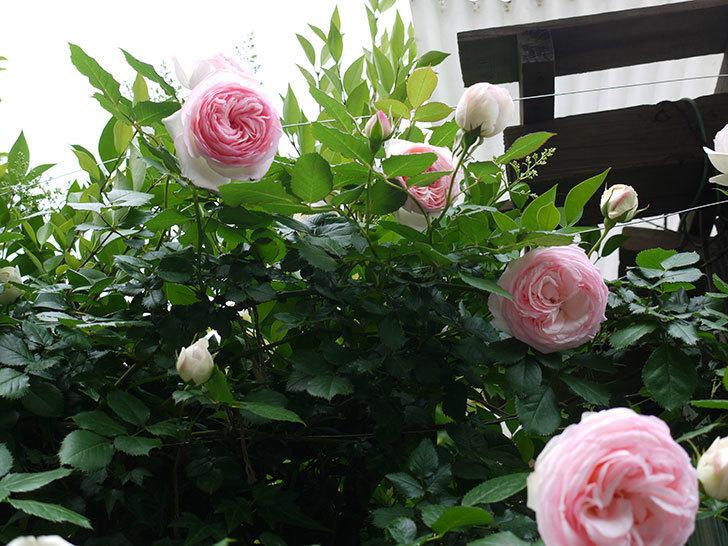 ピエール・ドゥ・ロンサール(ツルバラ)がたくさん咲いた。2017年-19.jpg