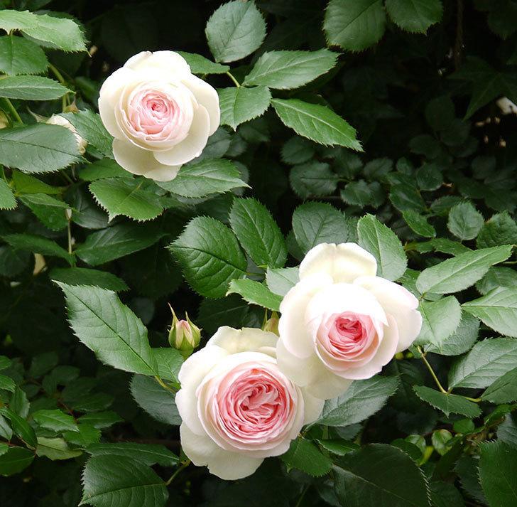 ピエール・ドゥ・ロンサール(ツルバラ)がたくさん咲いた。2017年-2.jpg