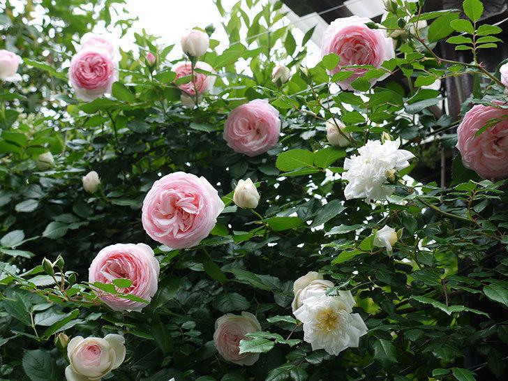 ピエール・ドゥ・ロンサール(ツルバラ)がたくさん咲いた。2017年-20.jpg