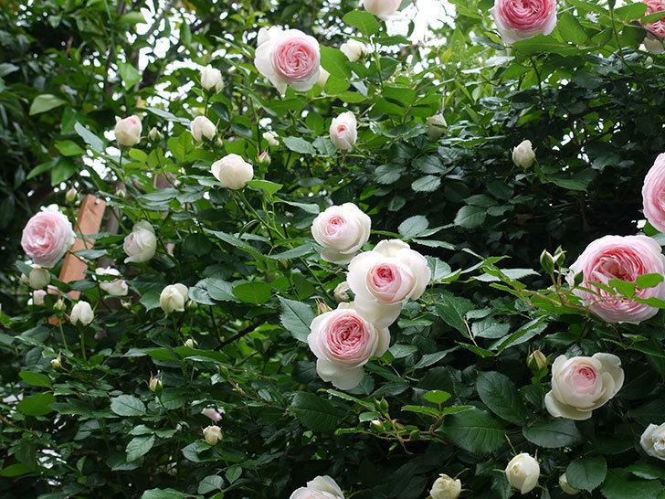 ピエール・ドゥ・ロンサール(ツルバラ)がたくさん咲いた。2017年-21.jpg