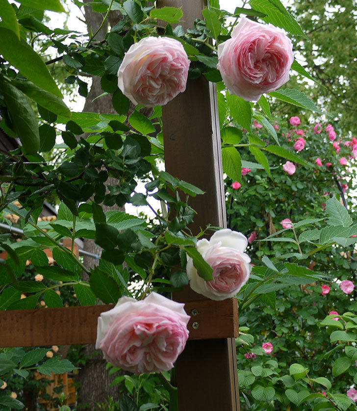 ピエール・ドゥ・ロンサール(ツルバラ)がたくさん咲いた。2017年-22.jpg