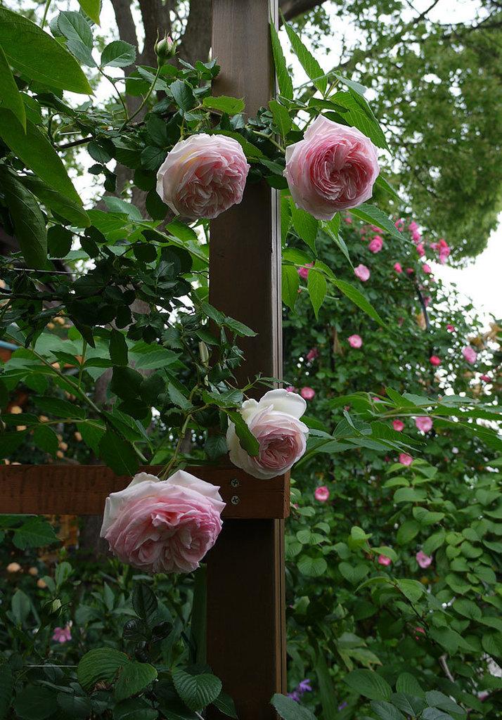 ピエール・ドゥ・ロンサール(ツルバラ)がたくさん咲いた。2017年-25.jpg