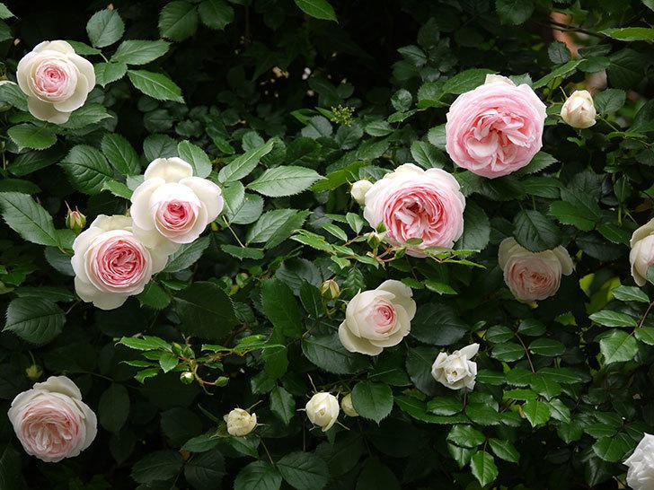 ピエール・ドゥ・ロンサール(ツルバラ)がたくさん咲いた。2017年-3.jpg