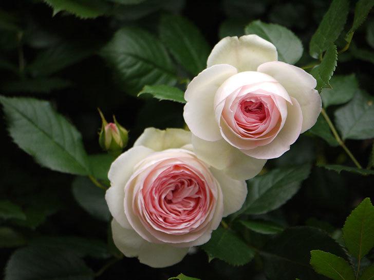 ピエール・ドゥ・ロンサール(ツルバラ)がたくさん咲いた。2017年-5.jpg