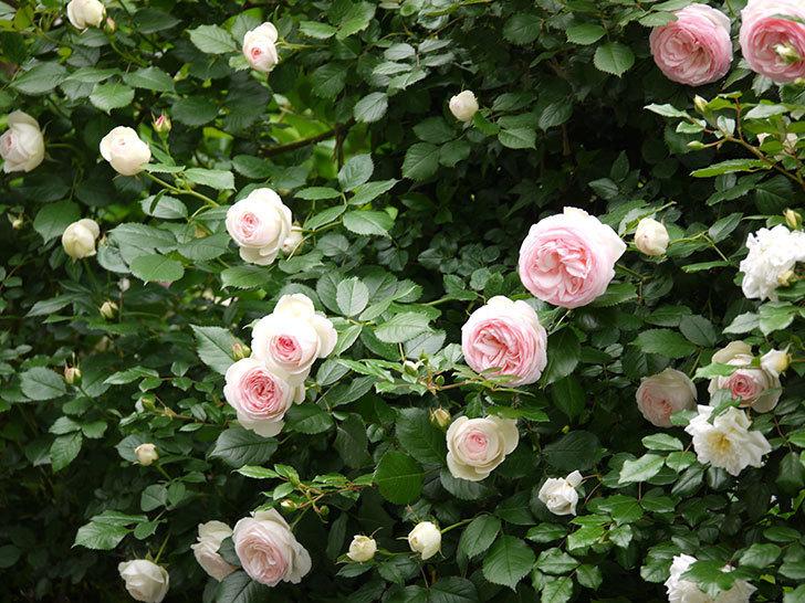 ピエール・ドゥ・ロンサール(ツルバラ)がたくさん咲いた。2017年-6.jpg