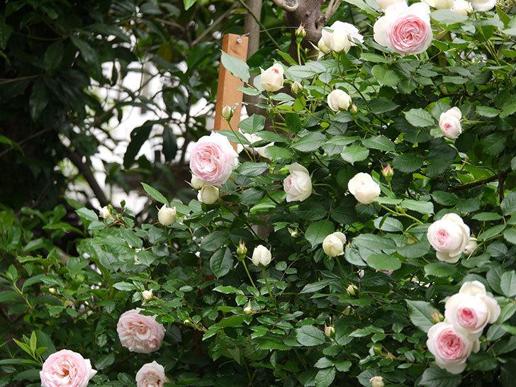 ピエール・ドゥ・ロンサール(ツルバラ)がたくさん咲いた。2017年-7.jpg