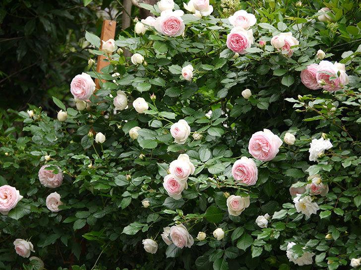 ピエール・ドゥ・ロンサール(ツルバラ)がたくさん咲いた。2017年-8.jpg