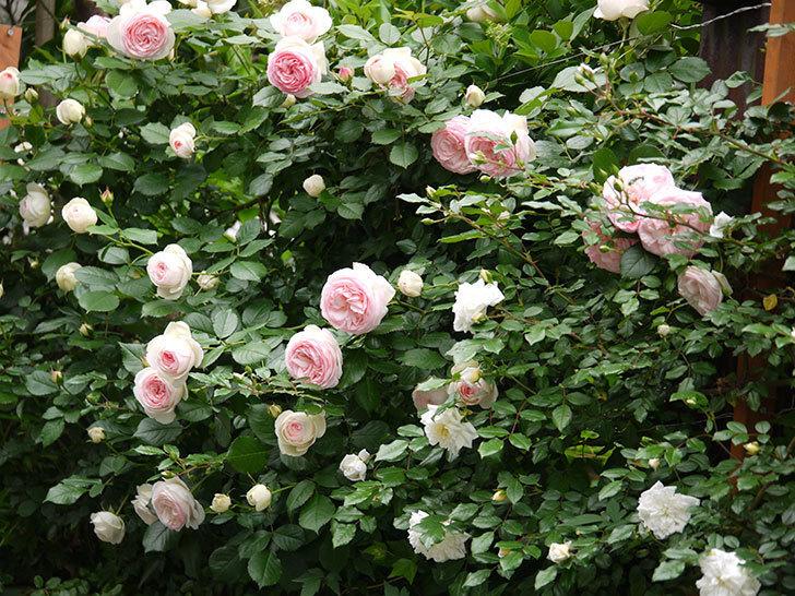 ピエール・ドゥ・ロンサール(ツルバラ)がたくさん咲いた。2017年-9.jpg