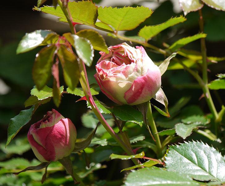 ピエール・ドゥ・ロンサール(ツルバラ)がもう少しで咲きそう。2018年-1.jpg