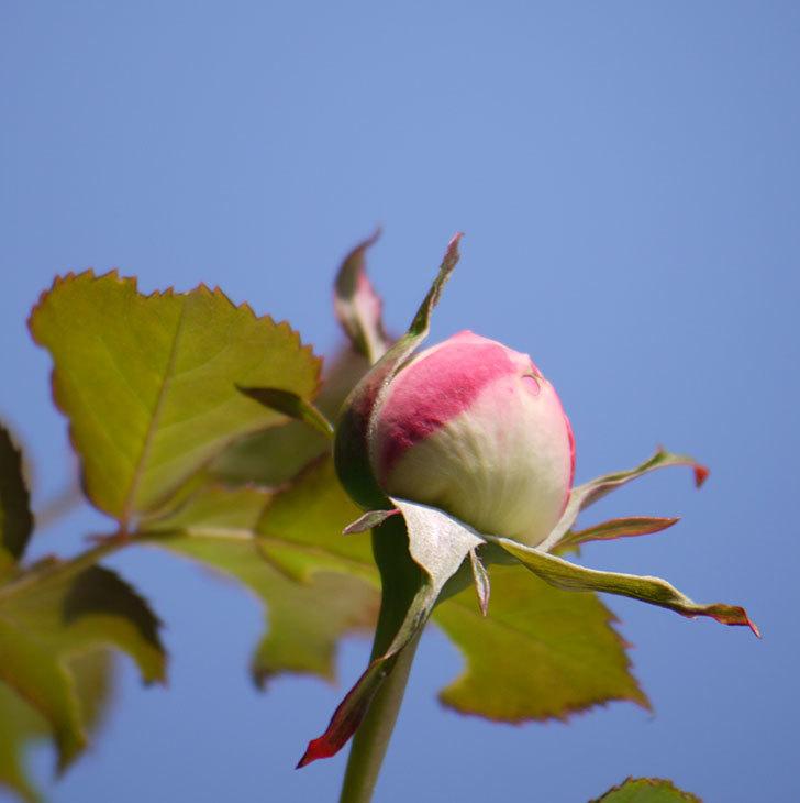 ピエール・ドゥ・ロンサール(ツルバラ)がもう少しで咲きそう。2018年-10.jpg