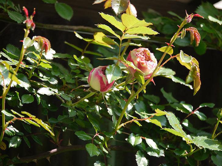 ピエール・ドゥ・ロンサール(ツルバラ)がもう少しで咲きそう。2018年-2.jpg
