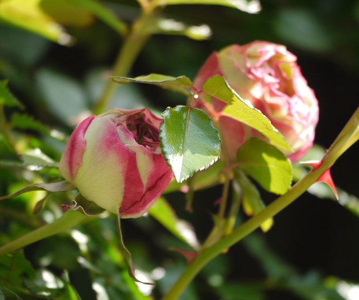 ピエール・ドゥ・ロンサール(ツルバラ)がもう少しで咲きそう。2018年-3.jpg