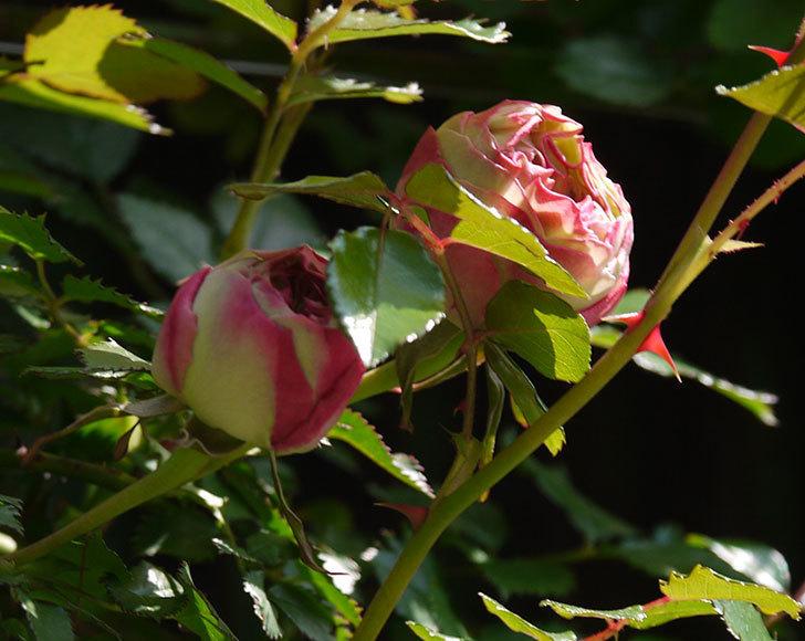 ピエール・ドゥ・ロンサール(ツルバラ)がもう少しで咲きそう。2018年-4.jpg