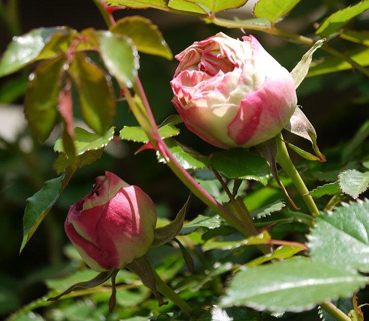 ピエール・ドゥ・ロンサール(ツルバラ)がもう少しで咲きそう。2018年-5.jpg