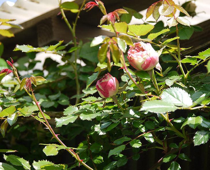 ピエール・ドゥ・ロンサール(ツルバラ)がもう少しで咲きそう。2018年-6.jpg