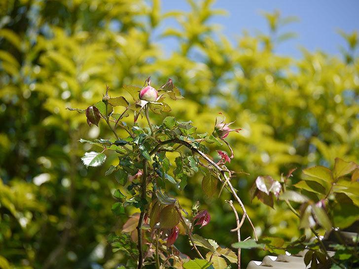 ピエール・ドゥ・ロンサール(ツルバラ)がもう少しで咲きそう。2018年-7.jpg