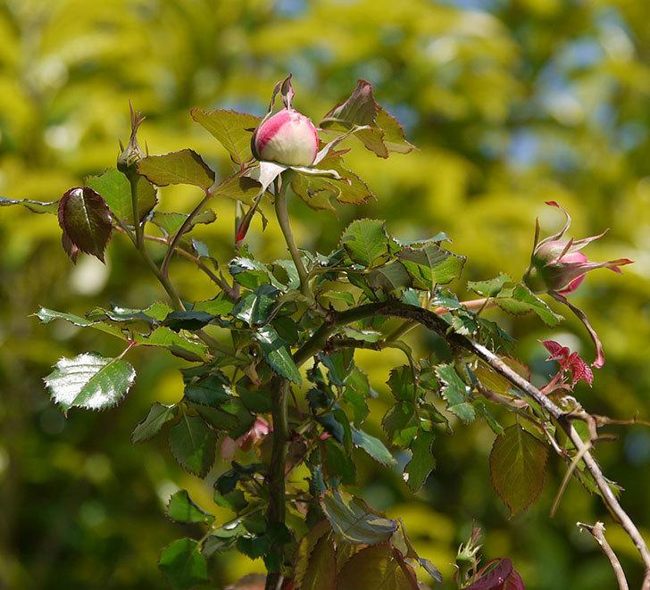 ピエール・ドゥ・ロンサール(ツルバラ)がもう少しで咲きそう。2018年-8.jpg