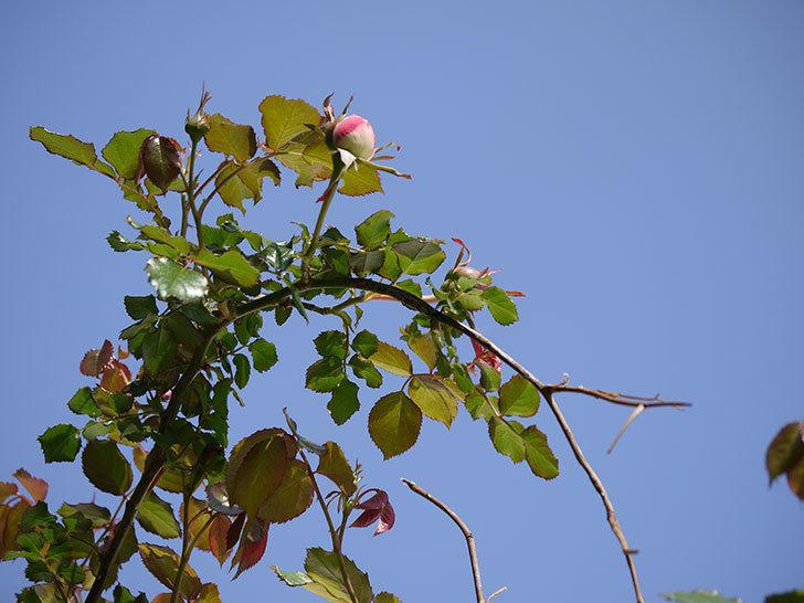ピエール・ドゥ・ロンサール(ツルバラ)がもう少しで咲きそう。2018年-9.jpg