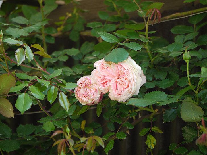 ピエール・ドゥ・ロンサール(ツルバラ)が咲いた。2018年-6.jpg