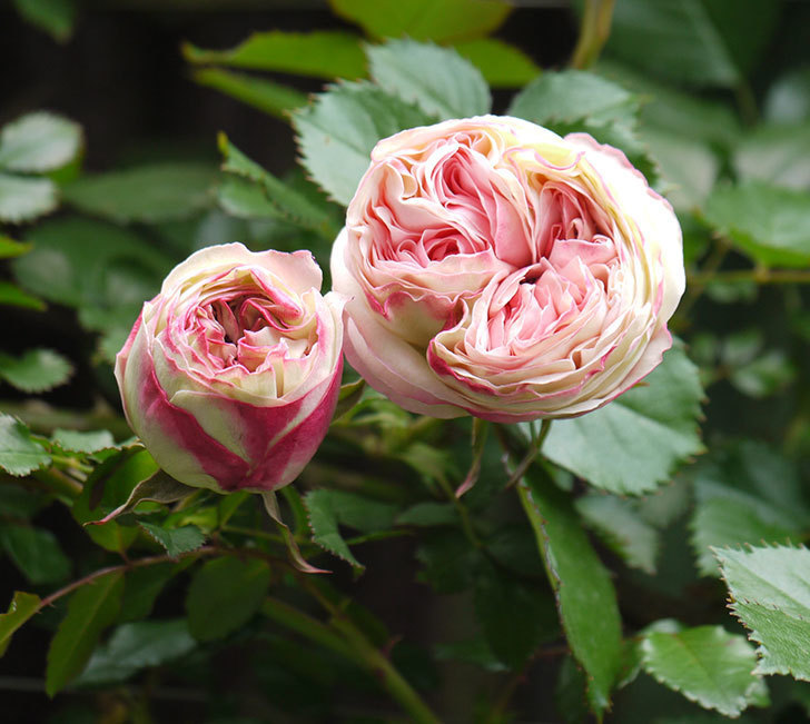 ピエール・ドゥ・ロンサール(ツルバラ)が少し咲いた。2018年-1.jpg