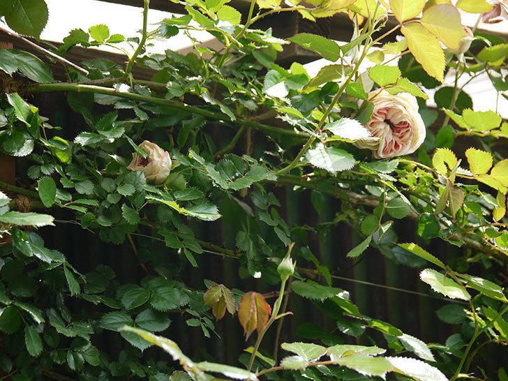 ピエール・ドゥ・ロンサール(ツルバラ)が少し咲いた。2018年-10.jpg